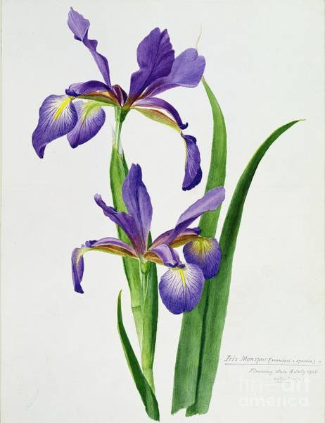 Wall Art - Painting - Iris Monspur by Anonymous