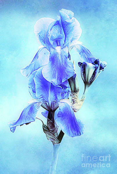 Photograph - Iris Pair In Blue by Anita Pollak
