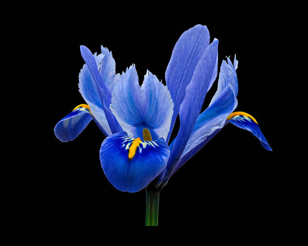 Photograph - Iris Reticulata, Black Background by Paul Gulliver