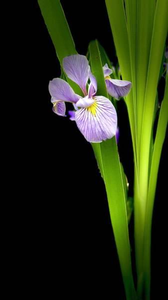 Photograph - Iris Via Iphone by Onyonet  Photo Studios