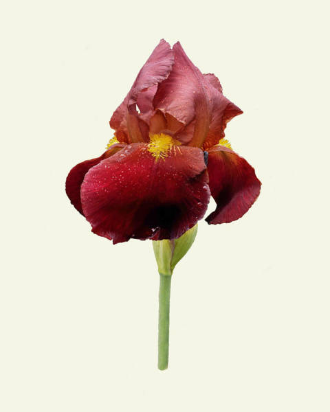 Photograph - Iris Vitafire Cream Background by Paul Gulliver