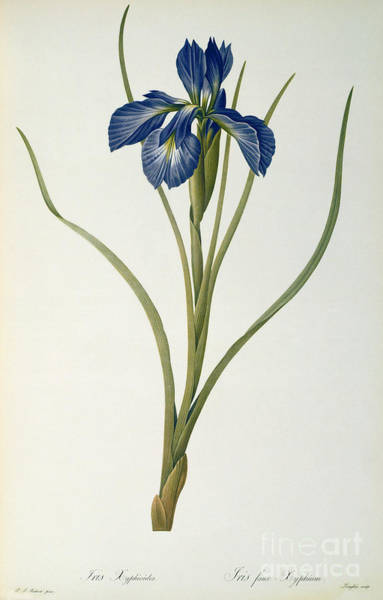 20th Painting - Iris Xyphioides by Pierre Joseph Redoute