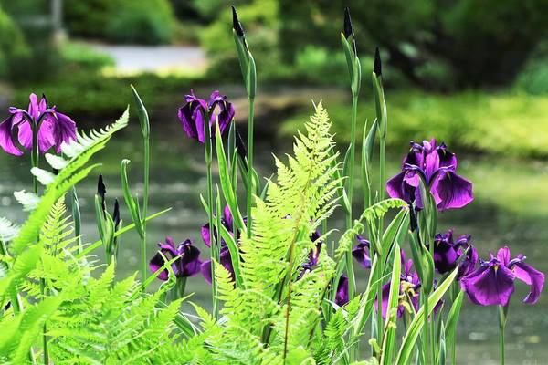 Wall Art - Photograph - Irises And Ferns by Mary Ann Artz