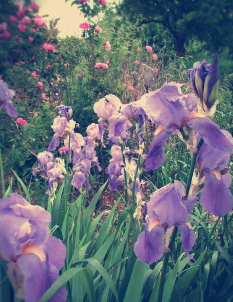 Photograph - Irises And Roses In The Garden by Mary Wolf