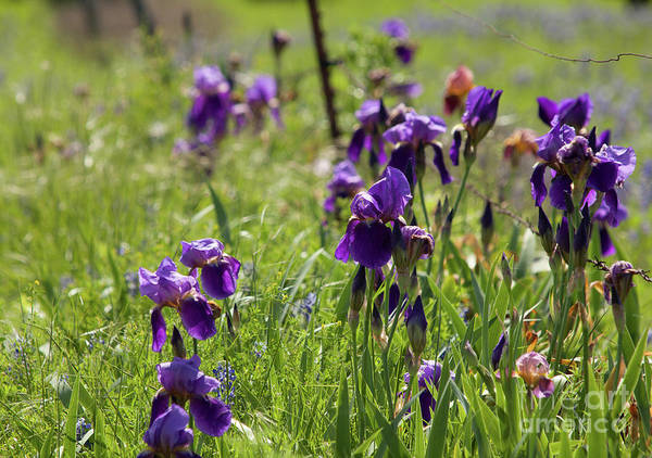 Wall Art - Photograph - Irises by Iris Greenwell