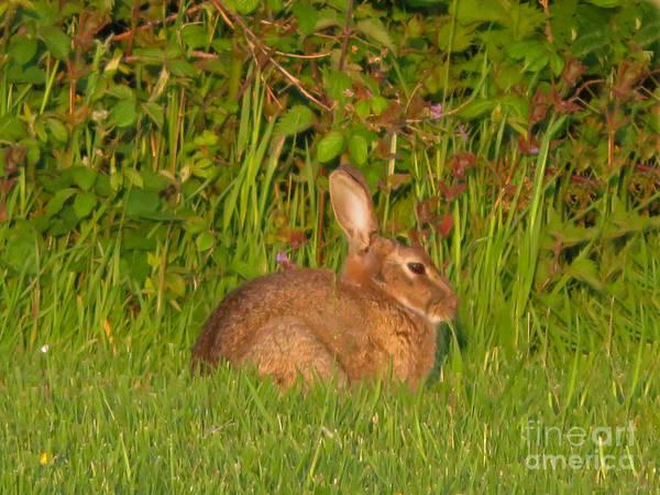 Photograph - Irish Rabbit by Cindy Murphy - NightVisions