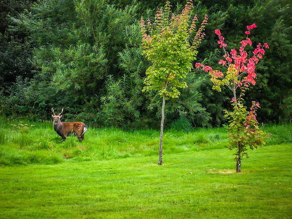 Photograph - Irish Red Deer In Autumn by James Truett
