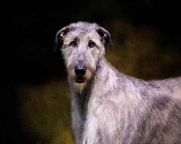 Photograph - Irish Wolfhound Portrait by Diana Andersen