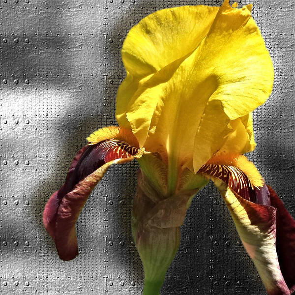 Photograph - Iron Iris by Susan Kinney