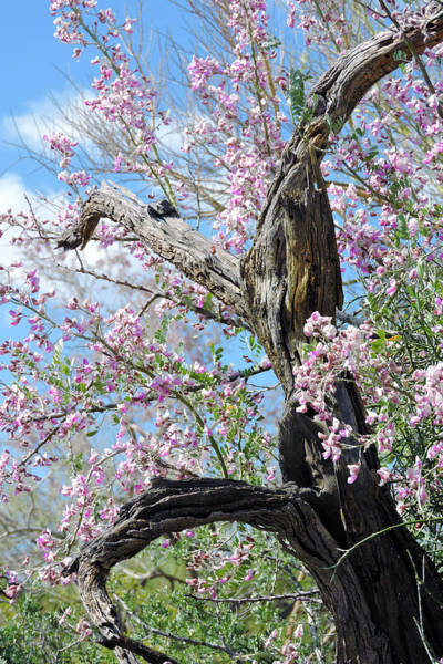 Photograph - Ironwood In Bloom by Grace Dillon