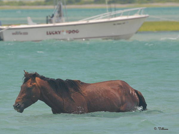 Photograph - Island Horse by Dan Williams