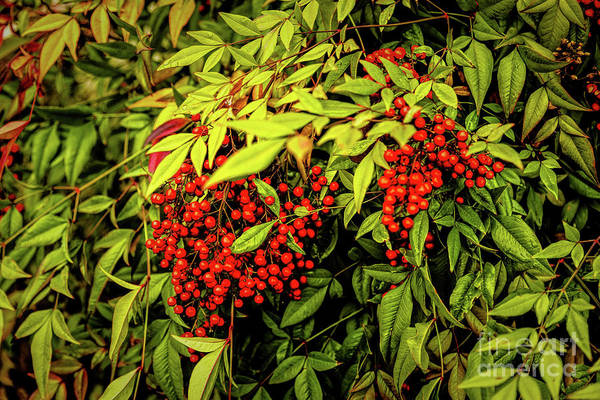 Photograph - Isn't That The Berries? by Jon Burch Photography