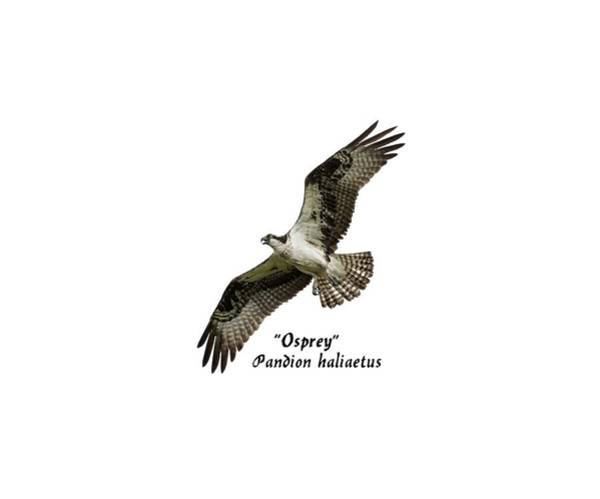 Photograph - Isolated Osprey 2017-1 by Thomas Young