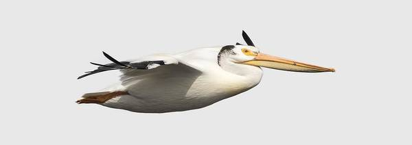 Photograph - Isolated Pelican 2016-1 by Thomas Young