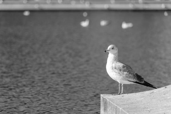 Photograph - Isolated Seagull by SR Green