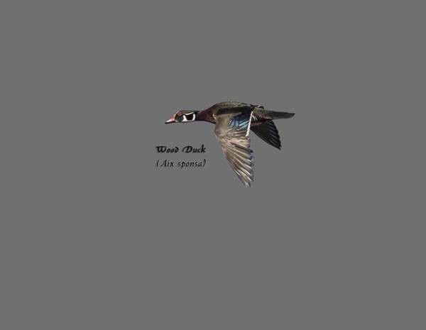 Isolated Wood Duck 2017-1 Art Print