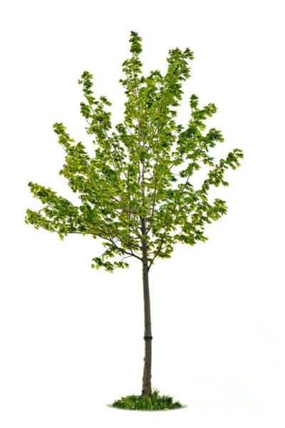 Leafy Greens Photograph - Isolated Young Maple Tree by Elena Elisseeva