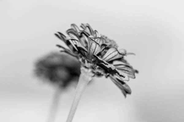Photograph - Isolated Zinnia by SR Green