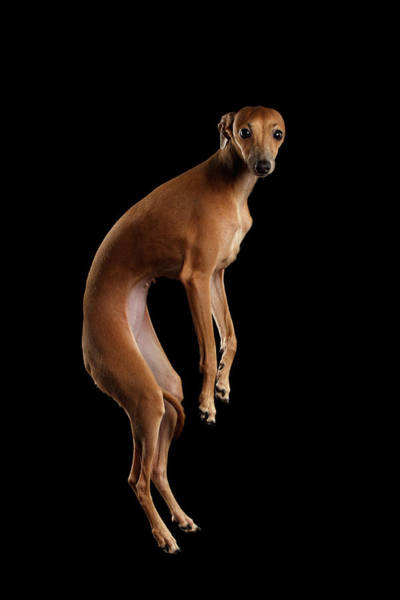 Dogs Photograph - Italian Greyhound Dog Jumping, Hangs In Air, Looking Camera Isolated by Sergey Taran