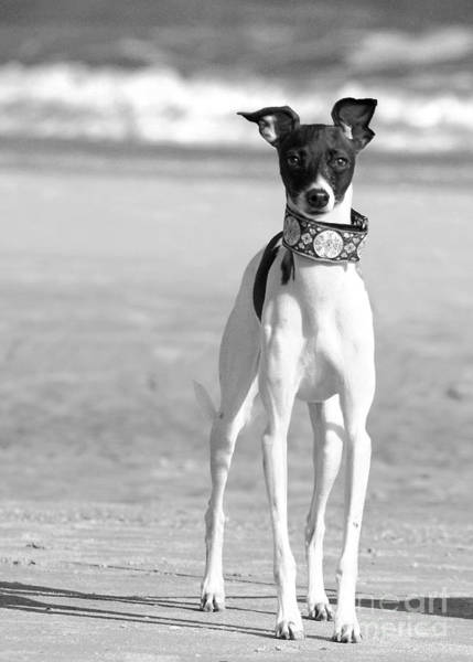 Photograph - Italian Greyhound On The Beach In Black And White by Angela Rath