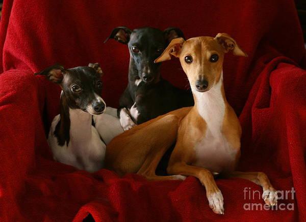 Photograph - Italian Greyhound Trio 4 by Angela Rath