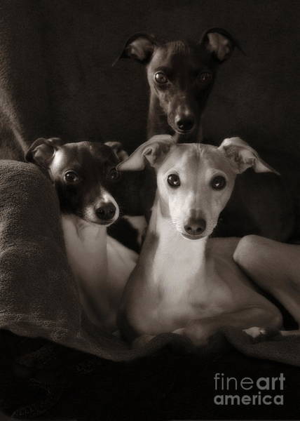 Photograph - Italian Greyhound Trio In Black And White by Angela Rath