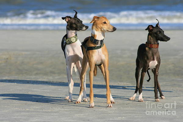Photograph - Italian Greyhounds On The Beach by Angela Rath