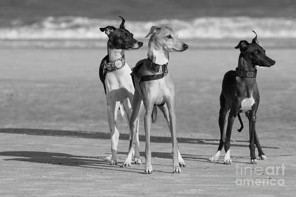 Photograph - Italian Greyhounds On The Beach In Black And White by Angela Rath