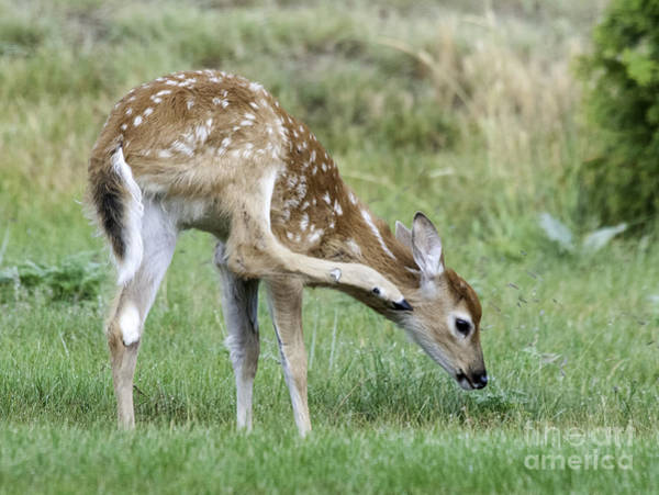 Photograph - Itchy Fawn by Gary Beeler