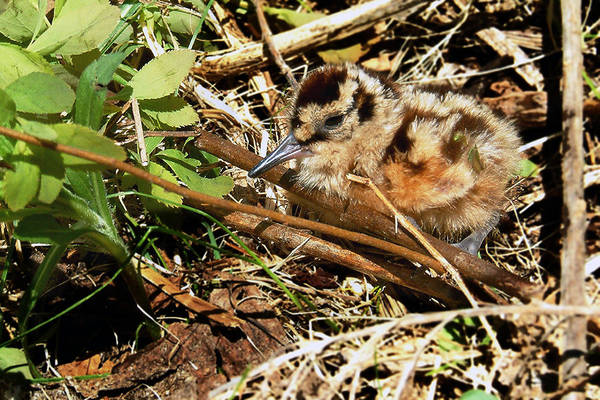 Woodcock Photograph - It's A Baby Woodcock by Asbed Iskedjian