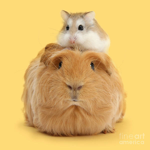 Photograph - It's A Guinea Wig by Warren Photographic