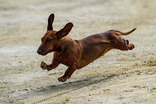 Photograph - Its Not A Sausage Its A Dog by Heiko Koehrer-Wagner
