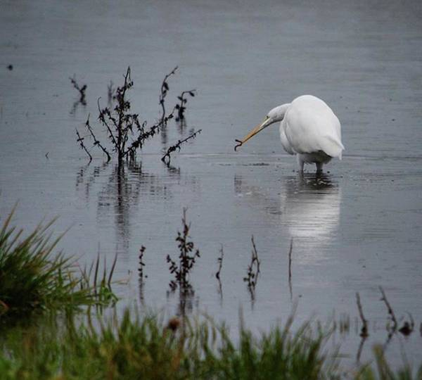 Egret Photograph - It's Not Always The Early Birds. Time by Sonya Zohar