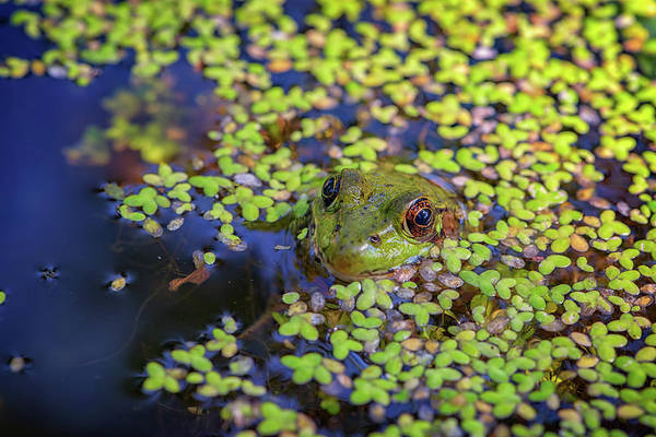 Bullfrog Photograph - It's Not Easy Being Green by Rick Berk