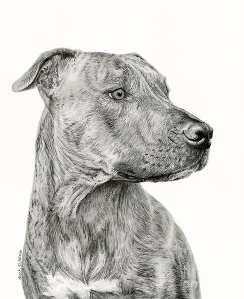 Pet Portrait Drawing - Ittie Bittie Pittie by Sarah Batalka