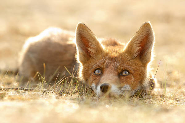 Cute Overload Photograph - Little Fox Dreaming Of A Foxy Future by Roeselien Raimond