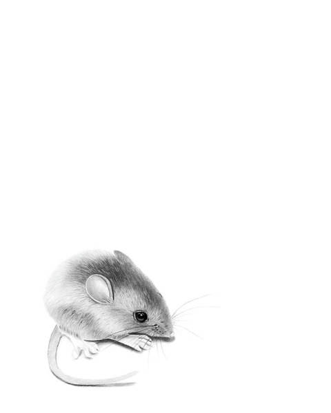 Hamster Drawing - Itty Bitty Mouse by Sketchy Crow