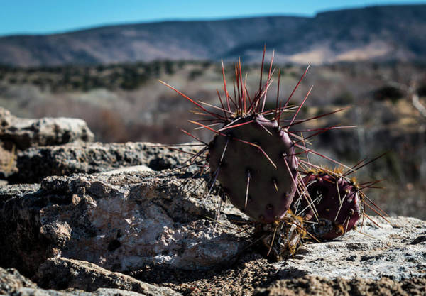 Photograph - Itty Bitty Prickly Pear Cactus by Susie Weaver