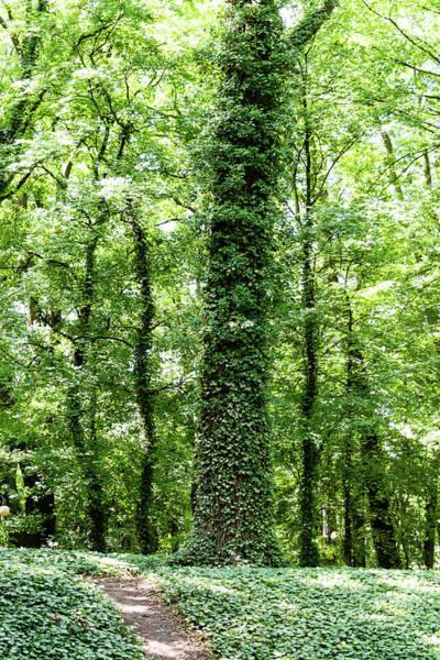Photograph - Ive Tree With Footpath by Jacek Wojnarowski