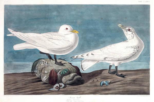 Ivory Painting - Ivory Gull by John James Audubon