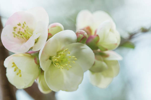 Wall Art - Photograph - Ivory Pink Quince Blossom by Iris Richardson