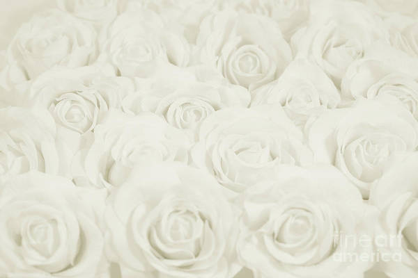 Wall Art - Photograph - Ivory Roses by Lucid Mood