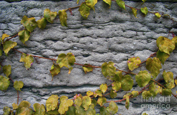 Wall Art - Photograph - Ivy And Ancient Wall In Old Montreal Hd Photography by Tina Lavoie