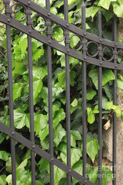 Photograph - Ivy And Gate by Carol Groenen