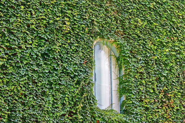 Photograph - Ivy Covered by Diana Hatcher