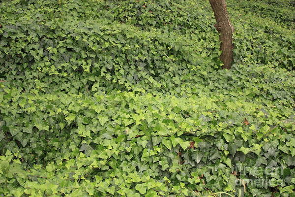 Photograph - Ivy-covered Hill by Carol Groenen