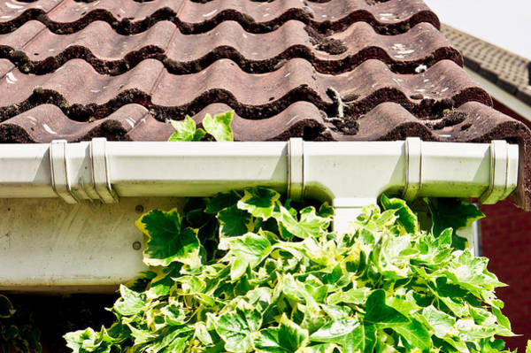 Gutter Photograph - Ivy Growth by Tom Gowanlock