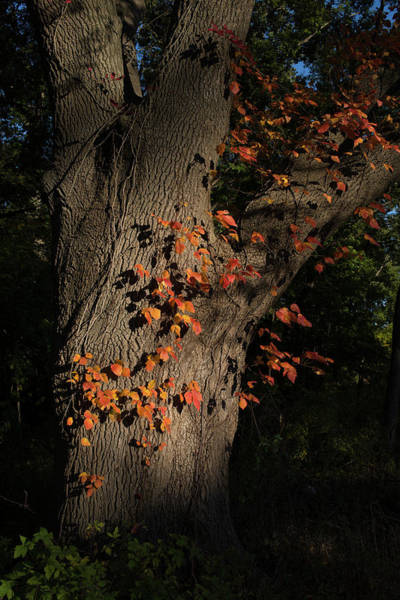 Photograph - Ivy In The Fall by John Forde