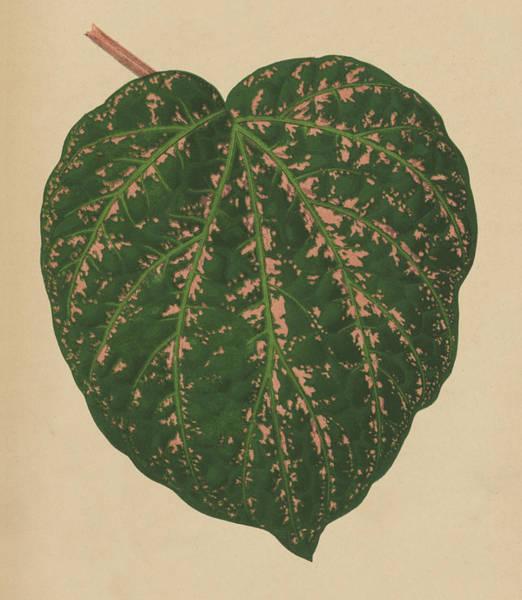 Leaf Venation Wall Art - Painting - Ivy Leaf, Cissus Porphyrophyllus  by English School