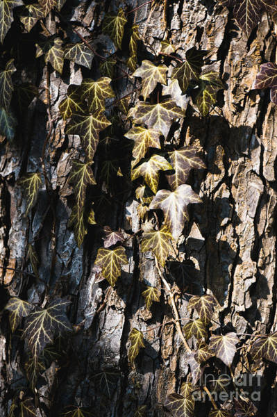 Wall Art - Photograph - Ivy Leaves Grunge Tone by Arletta Cwalina